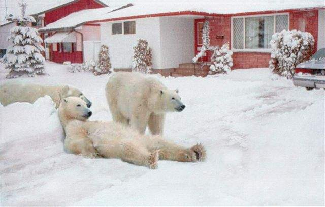 Polar bears in the front yard
